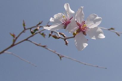 4/11 枝垂れ富士桜