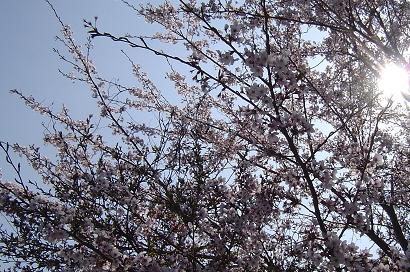 4/11 山桜