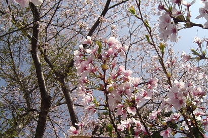 4/11 桜
