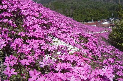 4/11 芝桜