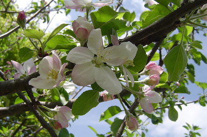 4/23 リンゴ