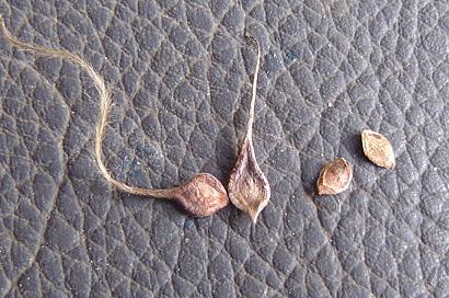 9/7 殻を剥いた壷型クレマチスの種