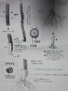 挿し木の仕方