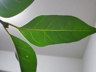 L_lucidum_leaf.jpg