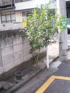 L_lucidum_street.jpg