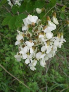 R_pseudoacacia_flower.jpg