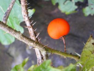 S_aculeatissimum_fruit.jpg