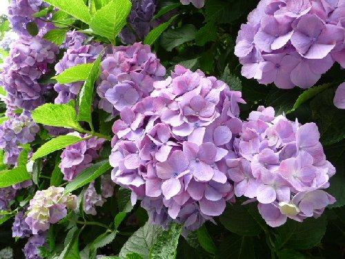 鎌倉の紫陽花P1020109