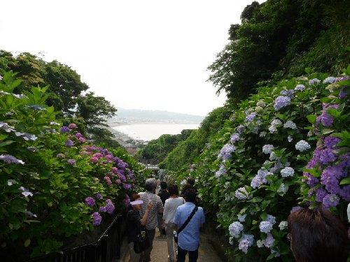 鎌倉の紫陽花P1020110