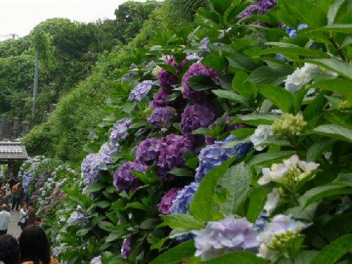 鎌倉の紫陽花P1020119