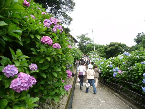 鎌倉の紫陽花P1020111