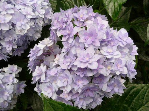鎌倉の紫陽花P1020113