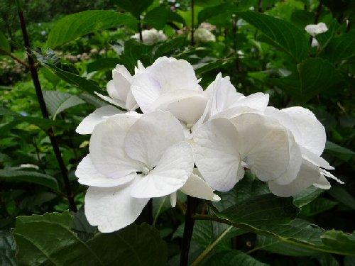 鎌倉の紫陽花P1020114