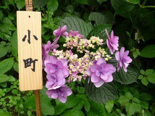 鎌倉の紫陽花P1020115
