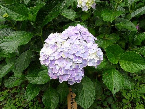 鎌倉の紫陽花P1020117