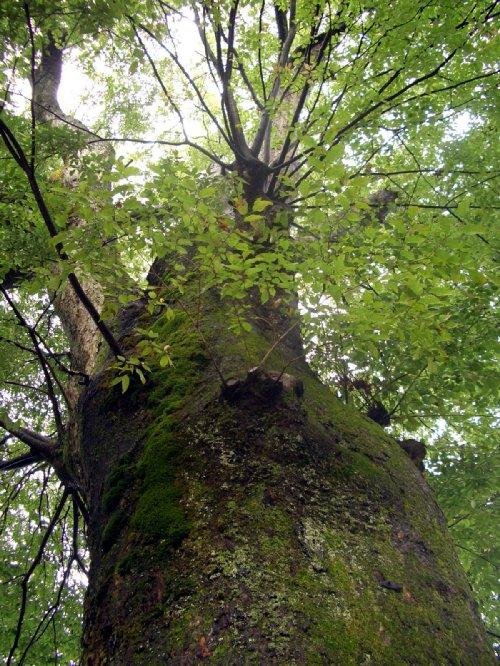 樹齢400年の欅の木
