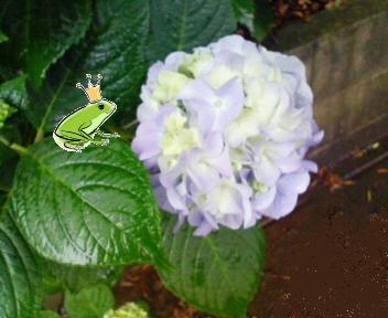 紫陽花とカエルの王子様