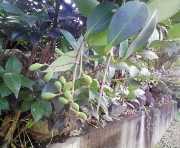 スプーンの実の木