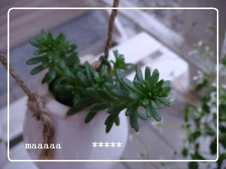モリムラ万年草