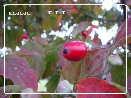赤い実のなる木