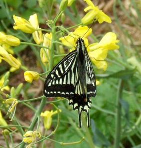 菜の花に蝶小