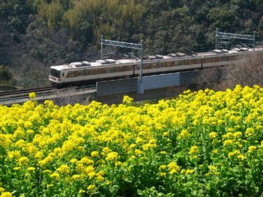 菜の花に電車小