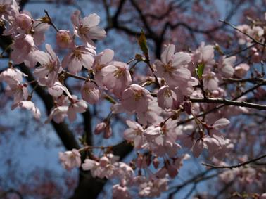 8桜アップ2
