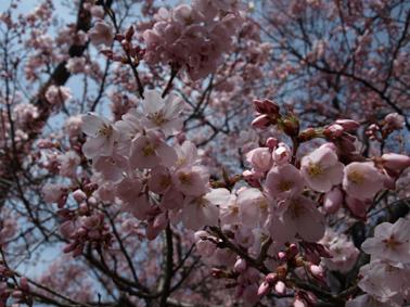 9桜アップ1