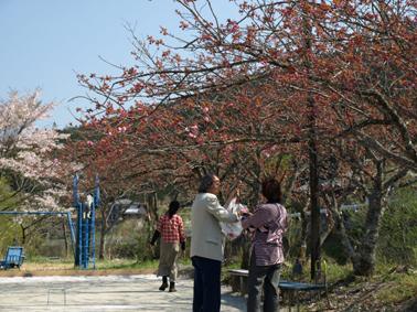 s9八重桜採り