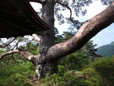 7祠の裏の大木