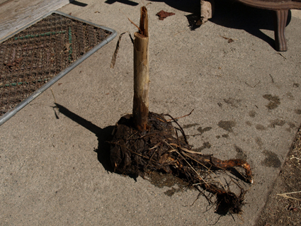 5ガマの根