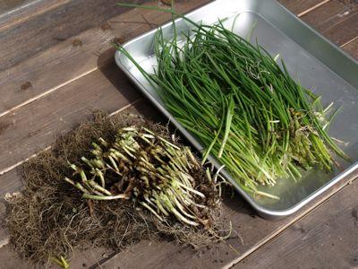 アサツキ収穫
