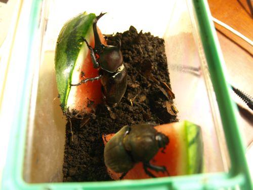 餌にありつくカブトムシ