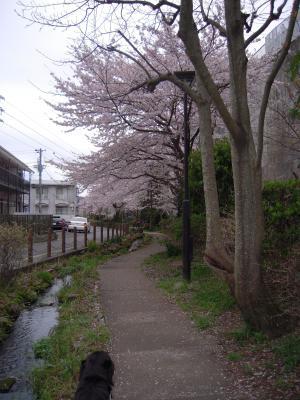 桜4月ハリー