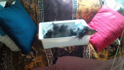 優雅に寝る母犬