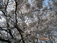 ohanami-sakura.jpg