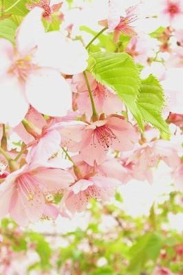 桜 2006