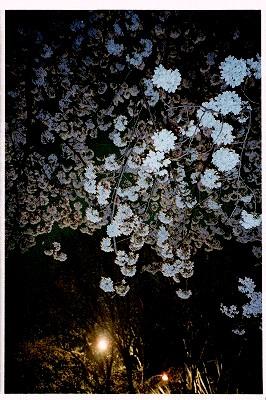 夜桜 2006