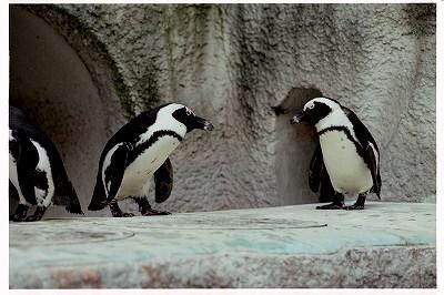ペンギンちゃん