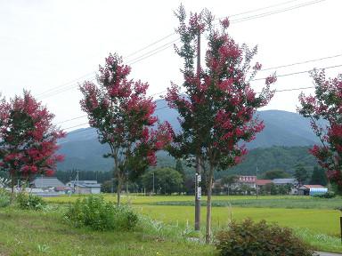 柿渋1091