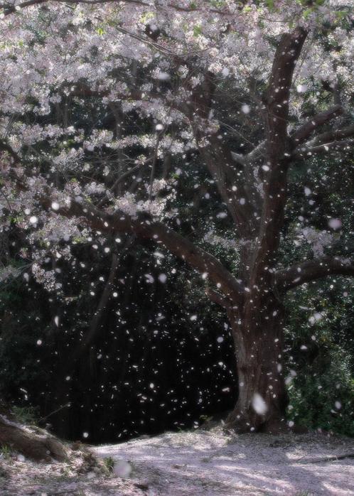 滝宮の桜吹雪