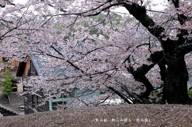 海員学校の桜3