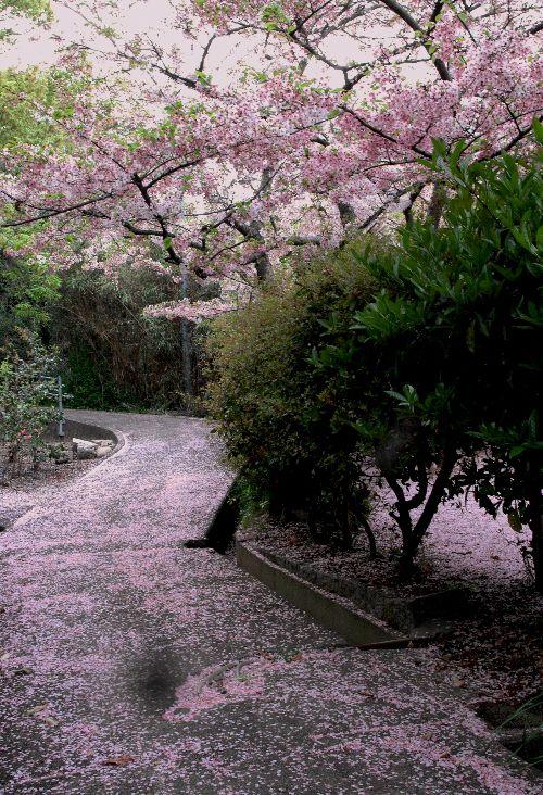 桜散る 028