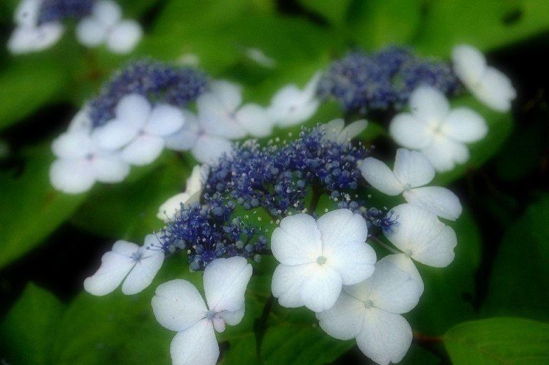 紫雲出山の紫陽花、朝霧 075