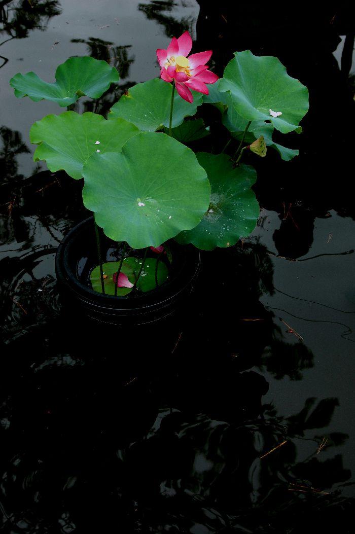 夜桜を撮る 008