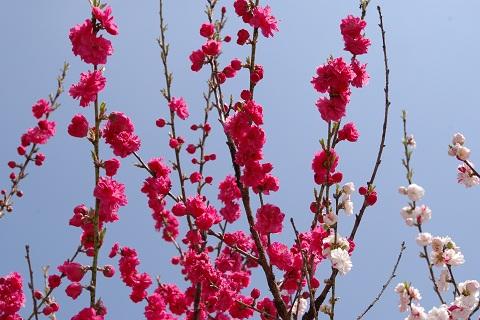 120310 桃の花