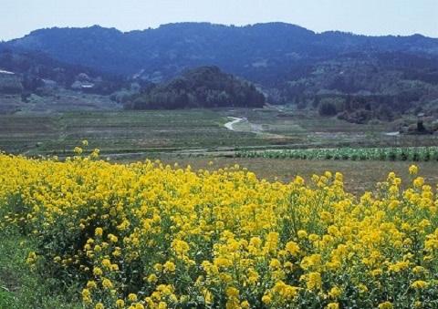 120325 菜の花と春の山