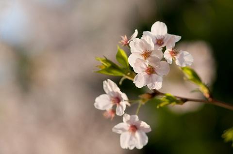 120330 桜