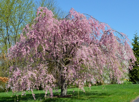 120405 しだれ桜