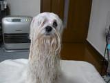 濡れ犬(リコ)